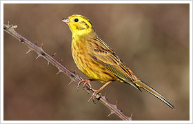 Yellowhammer (Rich Andrews)