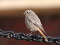 Black Redstart (Allan Chard)