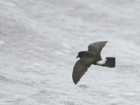 European Storm Petrel - Severn Beach, Jul 07 (Gary Thoburn)