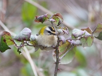 Firecrest - Orchard Pools, Jan 2009 (Gary Thoburn)