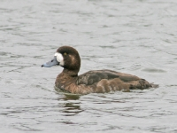 Greater Scaup - Chew Valley Lake, Mar 2006 (Gary Thoburn)
