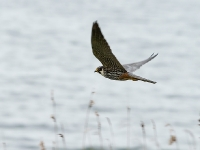 Hobby - Chew Valley Lake, May 2008 (Gary Thoburn)