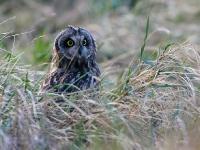 Short-eared Owl - Aust Warth, Dec 2007 (Gary Thoburn)
