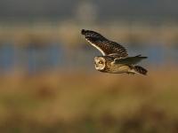 Short-eared Owl - Aust Warth, Dec 2008 (Gary Thoburn)