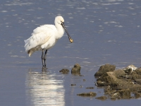 Spoonbill - Chew Valley Lake, Sep 2009 (Gary Thoburn)