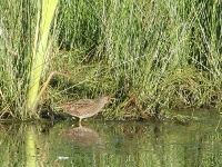 Spotted Crake - Chew Valley Lake, Aug 2007 (Gary Thoburn)