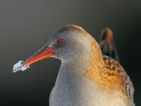 Water Rail - Chew Valley Lake, Dec 2010 (Gary Thoburn)