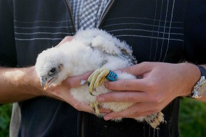 Peregrine chick - DX