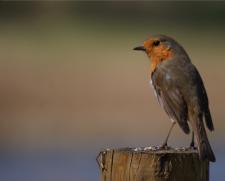 Robin by Ed Drewitt