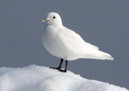 03-Ivory-gull