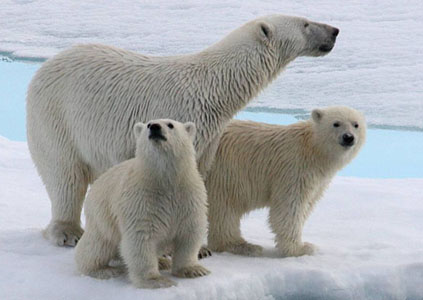 Polar Bear and 2cubs