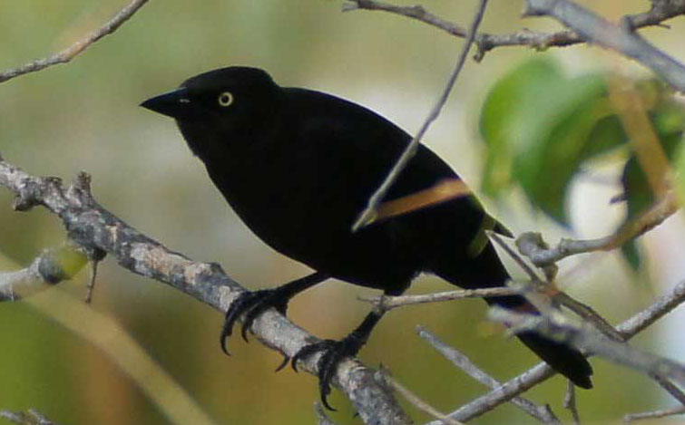 01a-Carib-grackle