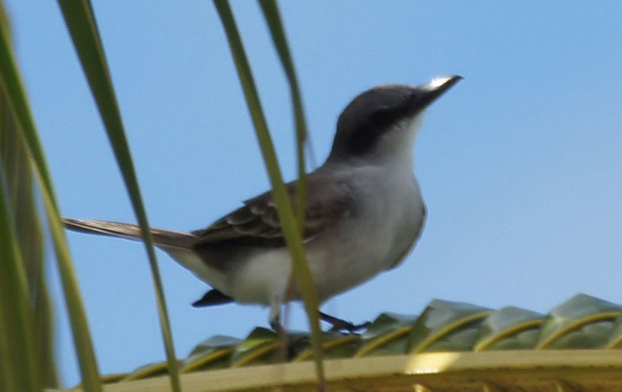01a-Grey-kingbird