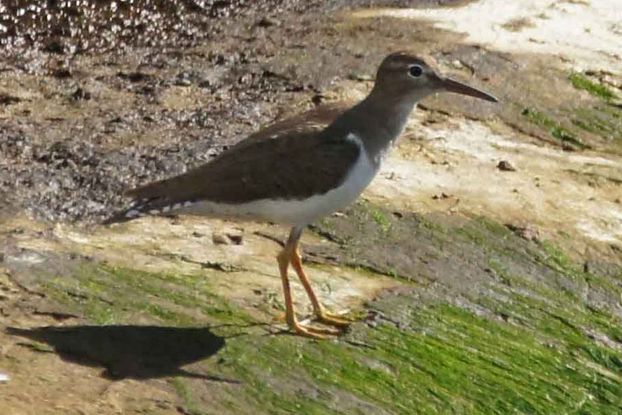 01a-Lesser-yellowlegs
