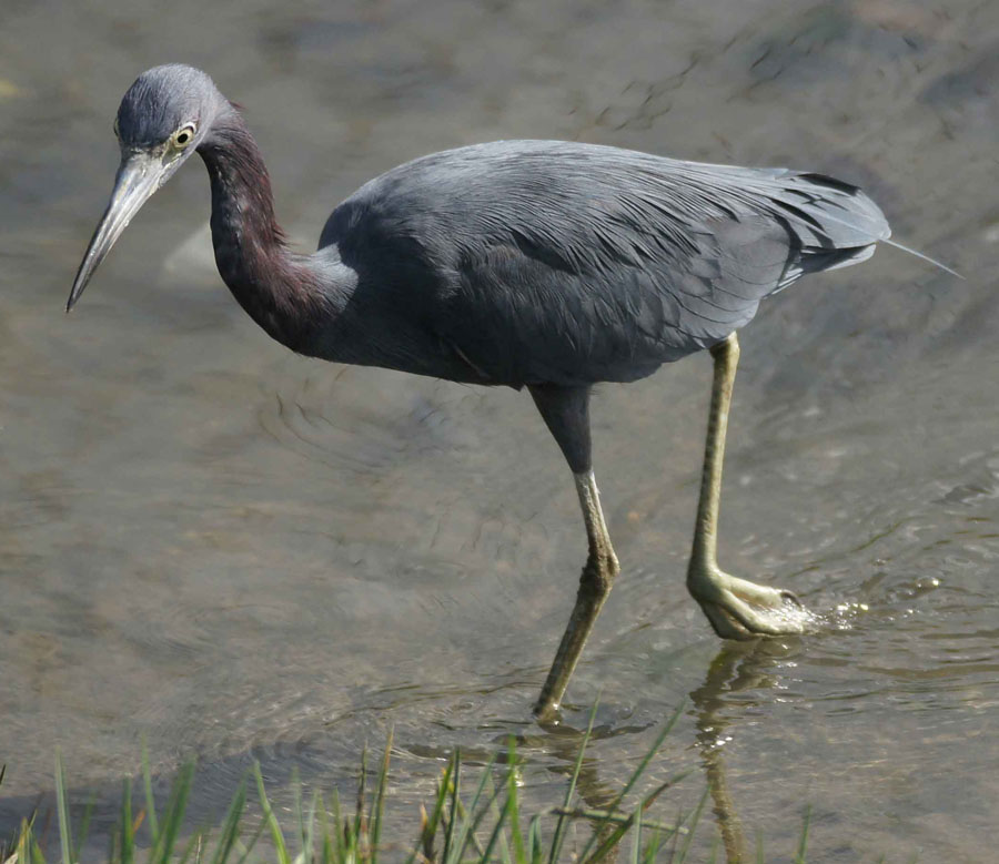 01a-Little-blue-heron