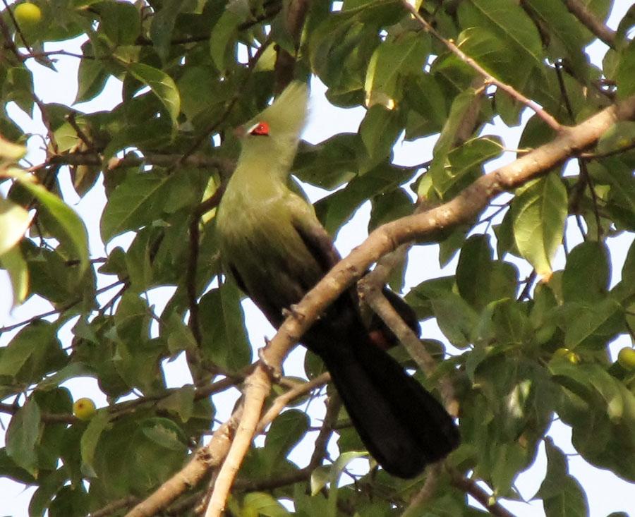 02-03-green-turaco