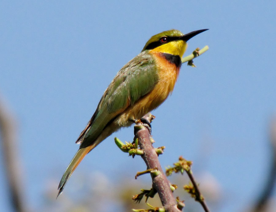 02-05-little-bee-eater