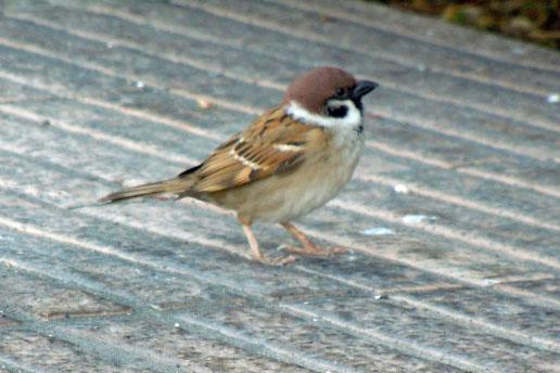 05-04-Sparrow