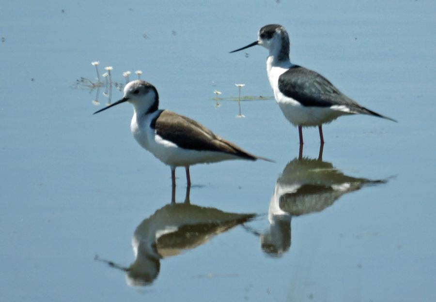 06-03-Black-winged-Stilts