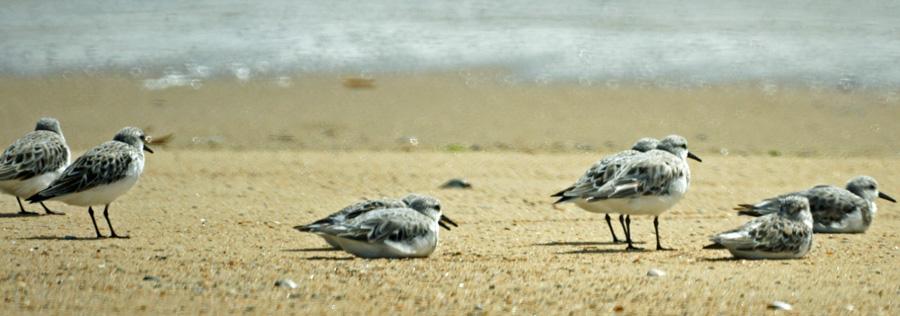 06-07-Sanderlings
