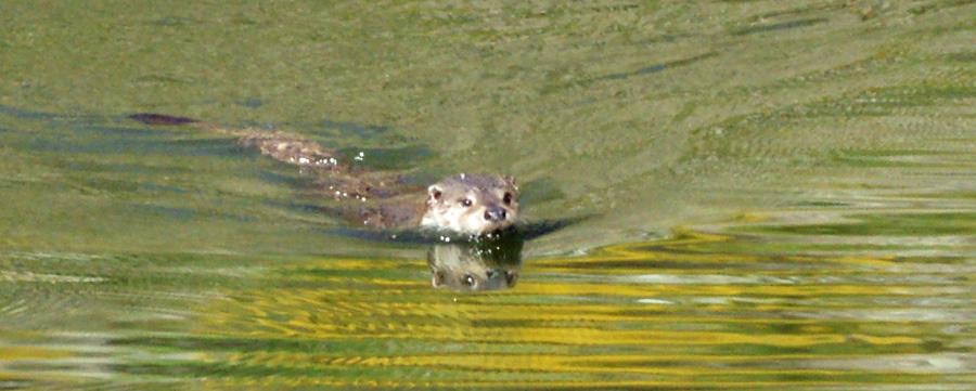 06-10-European-Otter