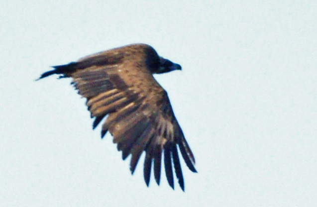 06-13-Black-Vulture