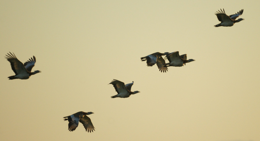 06-16-Spanish-Great-Bustards-over-the-Caceras-plain