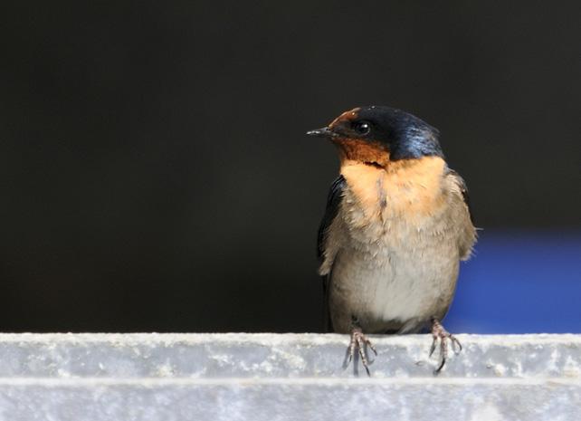 07-06-Swallow