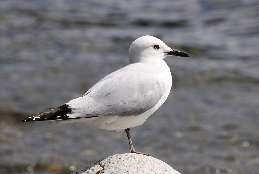 07-11-Black-Billed-Gull