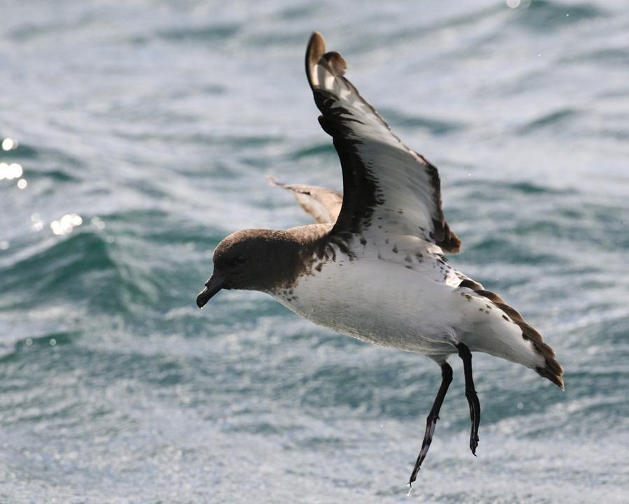 07-14-NZ-Cape-Petrel