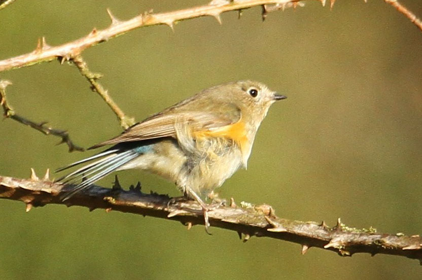 Red Flanked Bluetail by Gordon Youdale