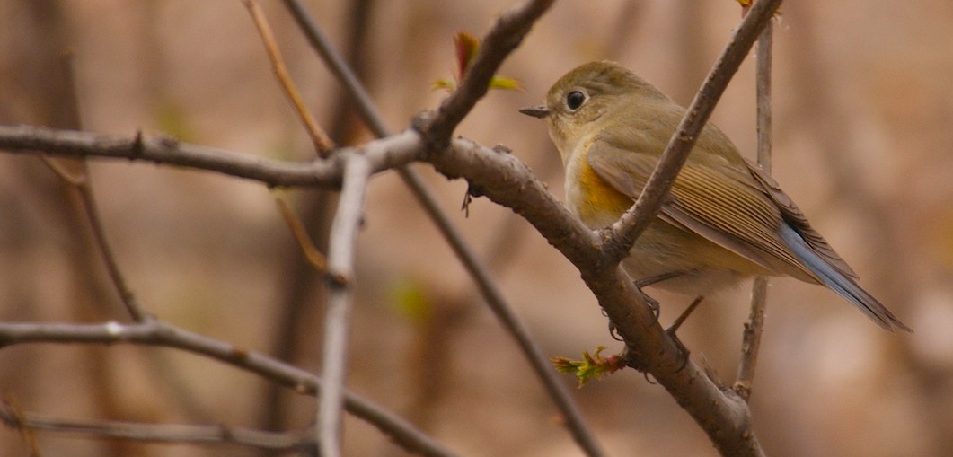 Red-flanked Bluetail in Beijing by Ed Drewitt