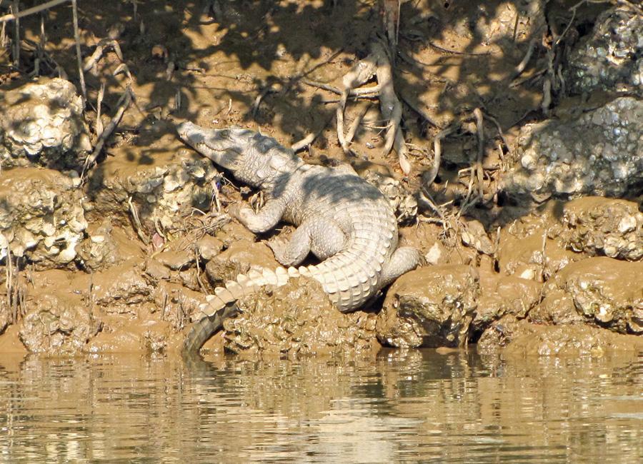 Mugger Croc