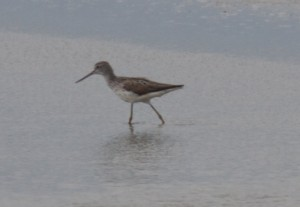 Distant Greenshank, Goldcliff. © Jim Perry