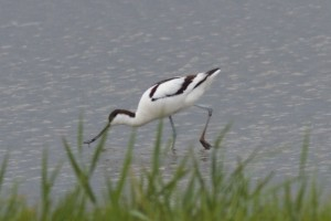 Avocet at Goldcliff © Jim Parry