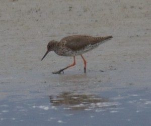 Redshank, Goldcliff. ©Jim Perry