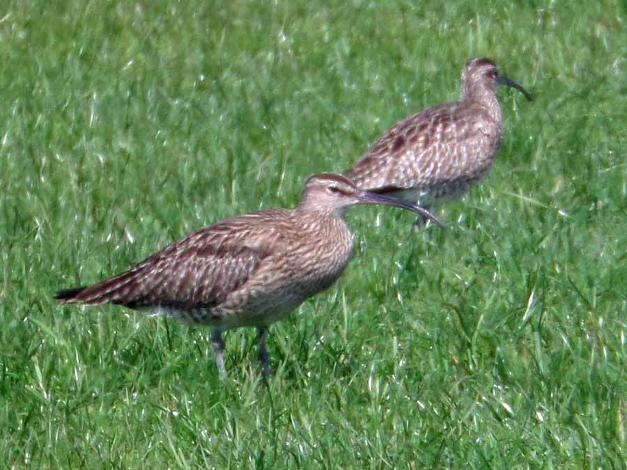 Two of the six whimbrel