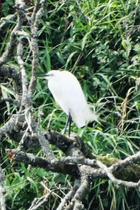Little Egret (at long range)