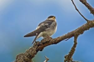 Chilean Swallow (juvenile)