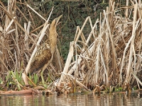 Bittern - Backwell Lake, Jan 2011 (Gary Thoburn)