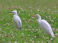Cattle Egrets - Chew Valley Lake, Aug 2009 (Gary Thoburn)