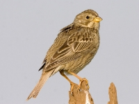 Corn Bunting - Marshfield, Jun 2006 (Gary Thoburn)