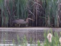 Purple Heron - Chew Valley Lake, May 2009 (Gary Thoburn)
