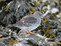 Purple Sandpiper - New Passage, Dec 2006 (Gary Thoburn)