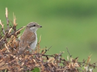 Red-backed Shrike (Allan Chard)