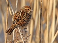 Reed Bunting - Chew Valley Lake, Dec 2010 (Gary Thoburn)