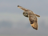 Short-eared Owl (Allan Chard)