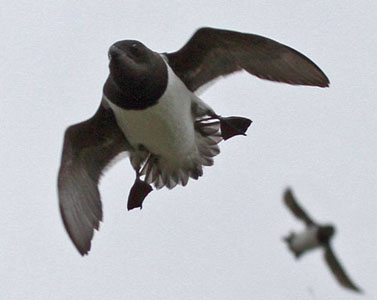 03-Little-auk-flying
