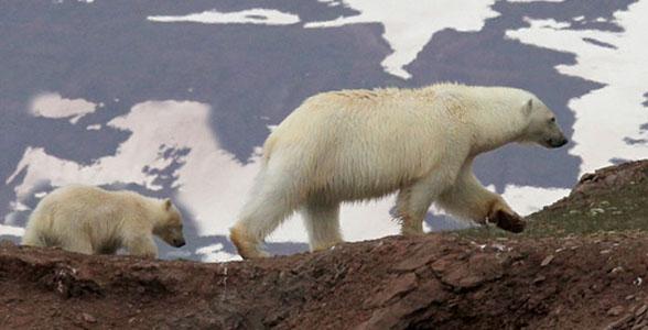 03-PolarBear-n-cub