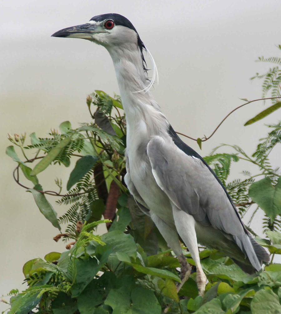 01a-Black-crowned-night-heron